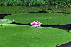 Seerose (nicht Victoria amazonica)