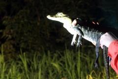Mohrenkaiman (Melanosuchus niger)
