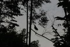 Mangrovenreiher (Butorides striata)