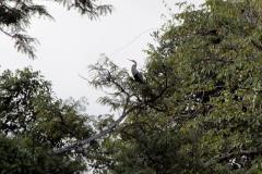 Schlangenhalsvogel (Anhinga anhinga)
