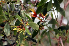 Psittacanthus peronopetalus