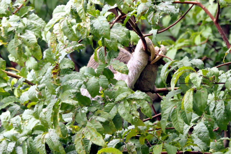 Dreifinger-Faultier (Bradypus variegatus)