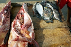 Links: halbierter Tigerspatelwels (Pseudoplatystoma tigrinum)