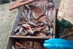 Liposarcus pardalis