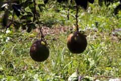Calabase, zumeist als Gefäß verwendet