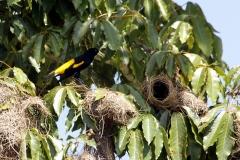 Gelbrückenstirnvogel (Cacicus cela)
