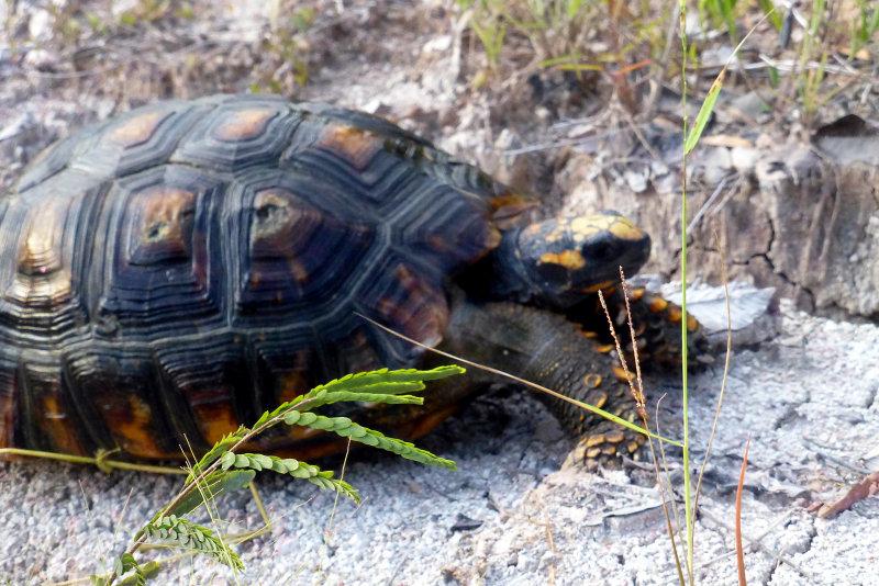 Waldschildkröte (Chelonoidis denticulata) auf den Weg in die Freiheit