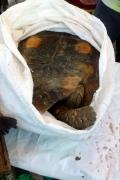 Waldschildkröte (Chelonoidis denticulata) noch auf dem Markt in Coari