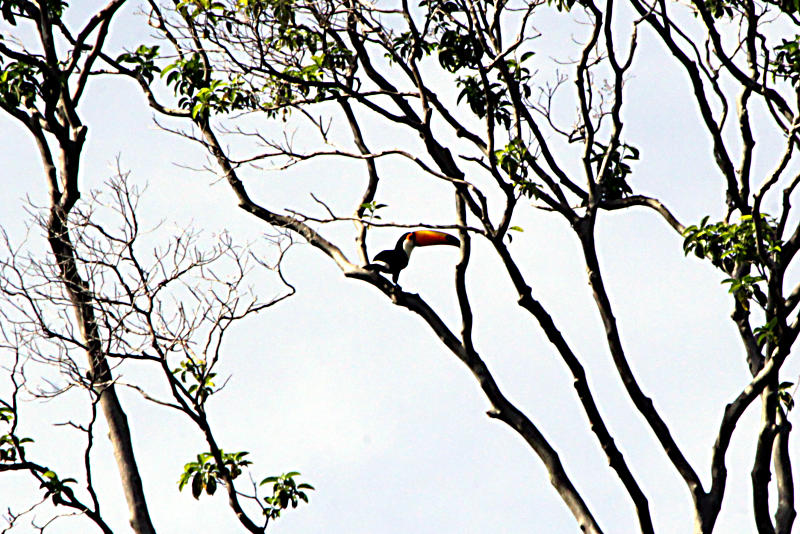 Riesentukan (Ramphastos toco)