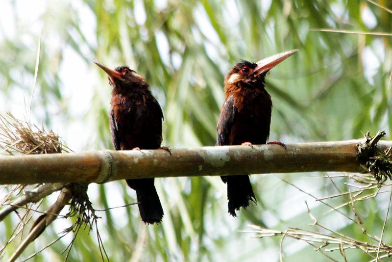 Kastanienglanzvogel (Galbalcyrhynchus leucotis)