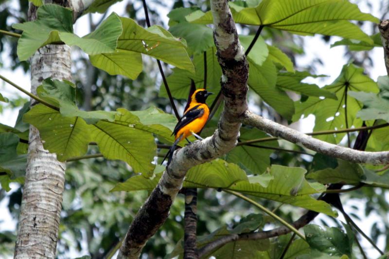 Orangerückentrupial (Icterus croconotus)