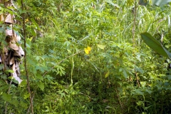 Maniok-Plantage