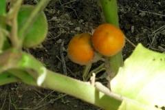Kartoffelstrauch (Solanum leptostemonum)