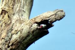 Weißnackentityra (Tityra semifasciata)