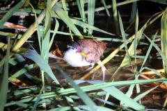 Junges Rotstirn-Blatthühnchen (Jacana jacana)