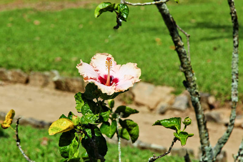 Hibiskus (Hibiscus rosa-sinensis)