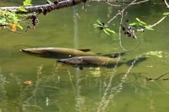 Schwarzer Pacu / Tambaqui (Colossoma macropomum)