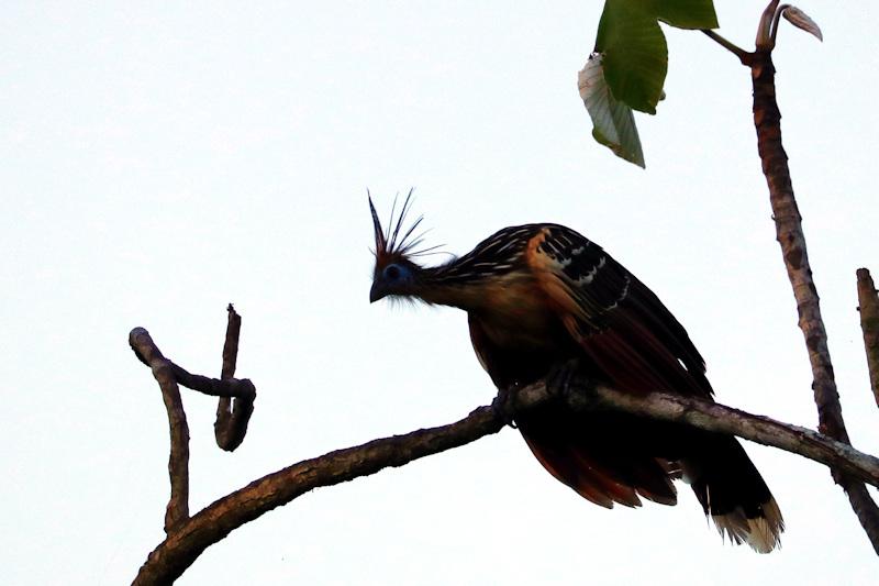 Zigeunervogel/Hoatzin (Opisthocomus hoazin)
