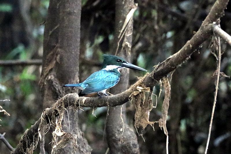 Amazonasfischer (Chloroceryle amazona)