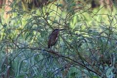 Mangroven-Reiher (Butorides striata) juvenil