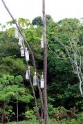Calpirinha-Baum