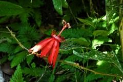 Passionsblume (Passiflora coccinea)