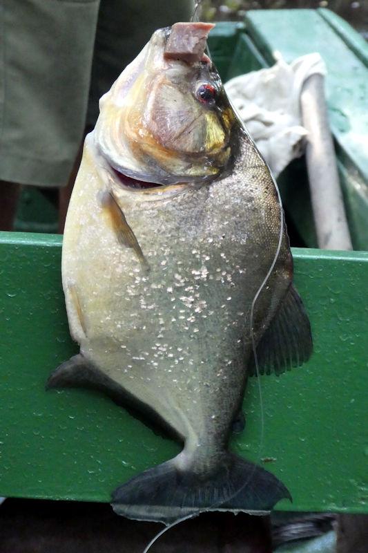 Schwarzer Piranha (Serrasalmus rhombeus)