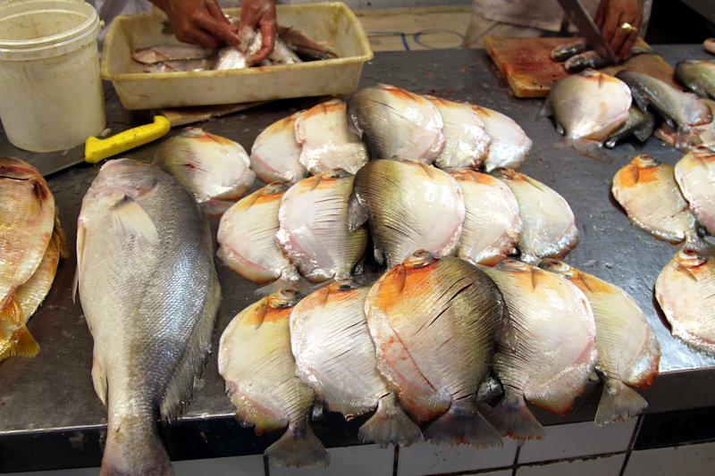 Süßwasser-Umberfisch - Plagioscion squamosissimus? / Mühlsteinsalmler (Mylossoma sp.)?