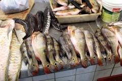 Schwarze Dornwelse (Oxydoras niger), Tiger-Spatelwels (Pseudoplatystoma tigrinum), Augenfleckenkammbarsch (Cichla monoculus)