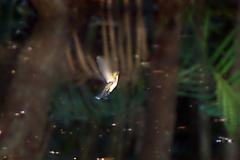 Kolibri (Polytmus guainumbi?)