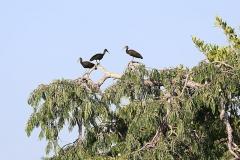 Grüner Ibis (Mesembrinibis cayennensis)
