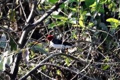 Rotkappen-Kardinal (Paroaria gularis)