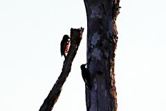 Specht und Baumläufer