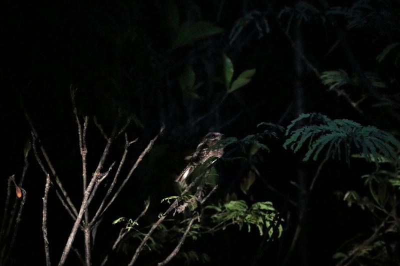 Nachtschwalbe (Caprimulgus sp.)