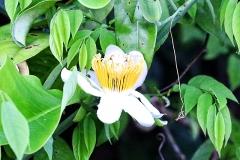 Passionsblume (Passiflora biflora)