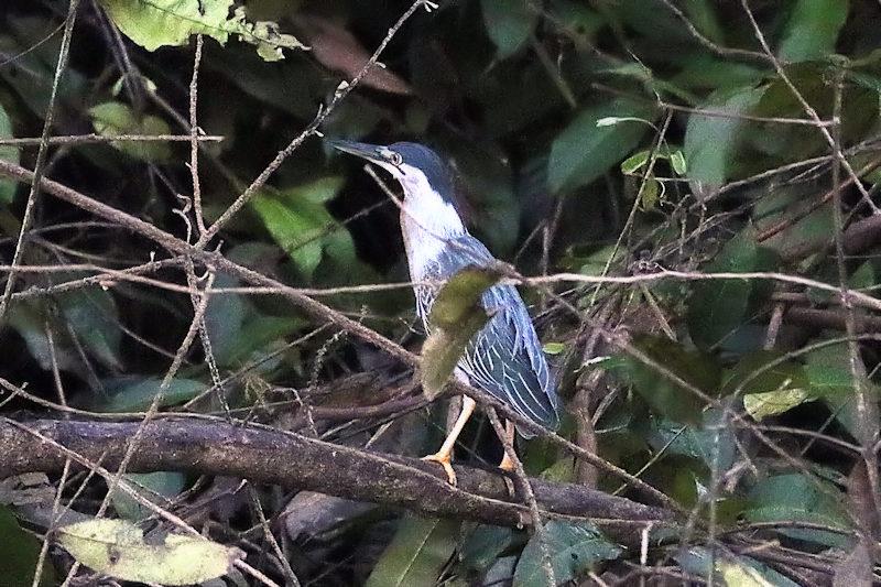 Magrovereiher (Butorides striata)