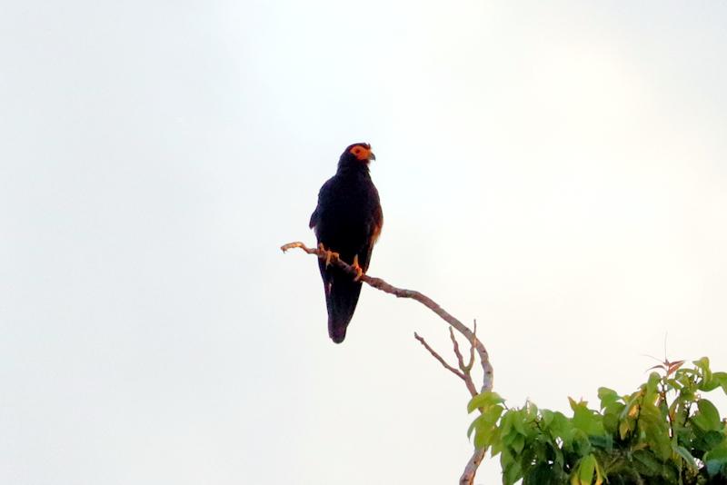 Gelbkehlkarakara (Daptrius ater)