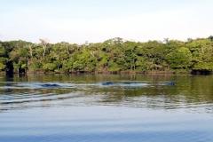 Amazonasdelphin (Inia geoffrensis)