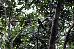Schwarzstirntrapist (Monasa nigrifrons)
