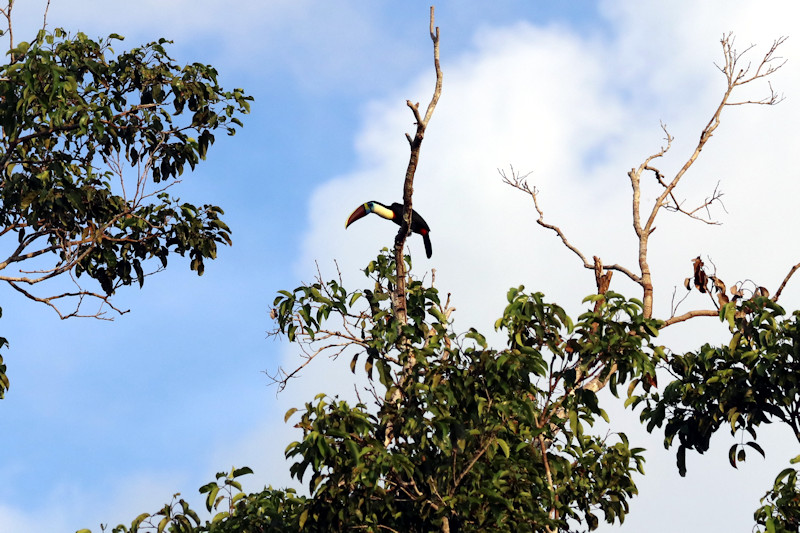 Weißbrusttukan (Ramphastos tucanus)