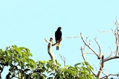 Krähenstirnvogel (Psarocolius decumanus)