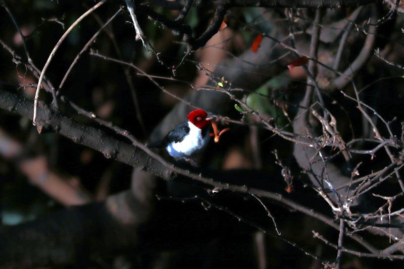 Mantelkardinal (Paroaria capitata)