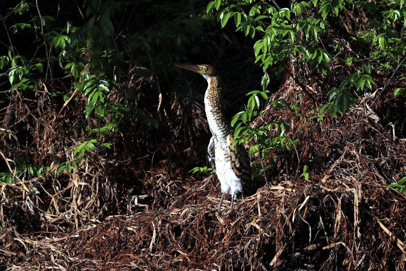 Tigerreiher (Tigrisoma fasciatum)
