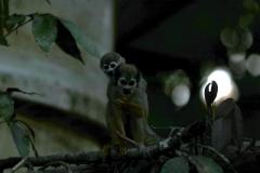 Totenkopfäffchen