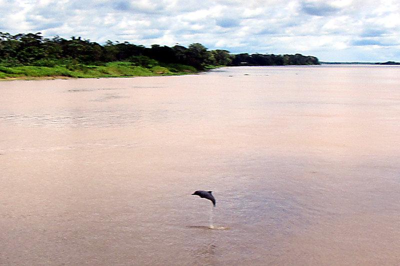 Rio Solimões mit Flussdelfin / Boto (Inia geoffrensis)