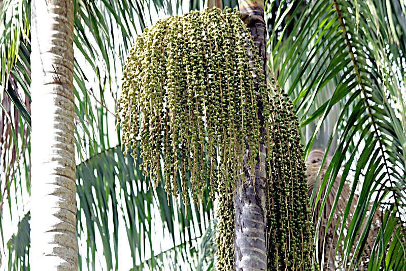 Açaí-Palme (Euterpe oleracea)