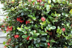 Scharlachrote Ixora (Ixora coccineae)