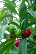 Kartoffelstrauch (Solanum leptostemonum)?