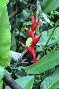 Geschnäbelte Heliconie (Heliconia rostrata)
