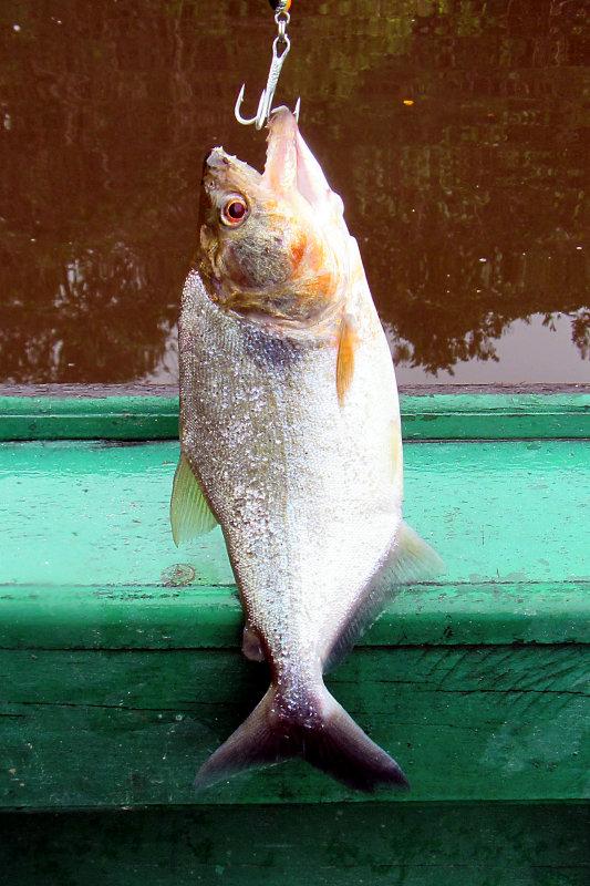 Serrasalmus cf. elongatus